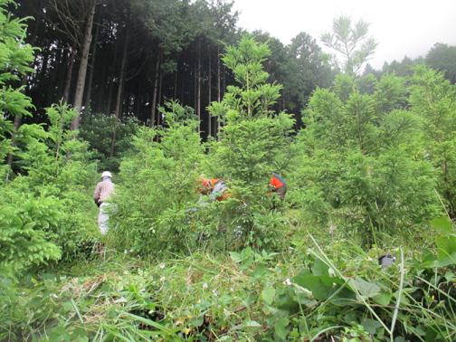 植栽木の間を刈り進む参加者