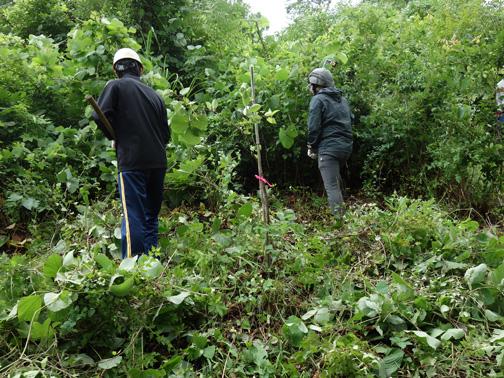 救出されたヤマザクラの植栽木