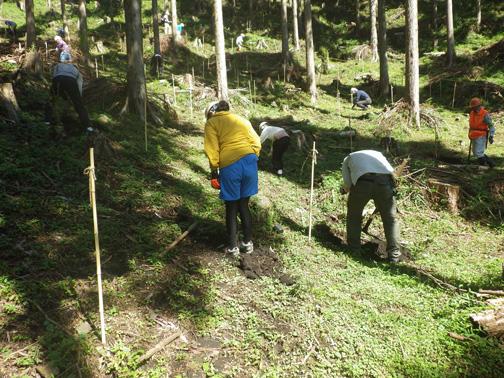 植えた苗木のまわりをよく踏み固めます