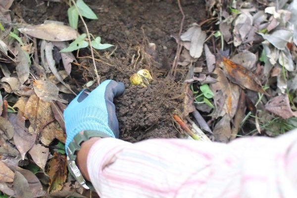 開花後の球根を掘り起こし