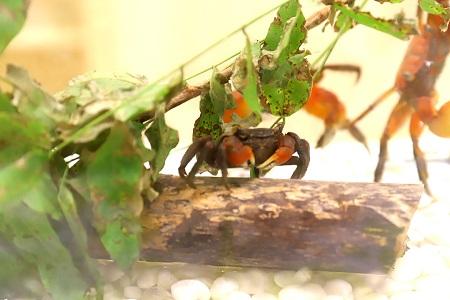 アカテガニなどをを観察できる「カニカニ水族館」