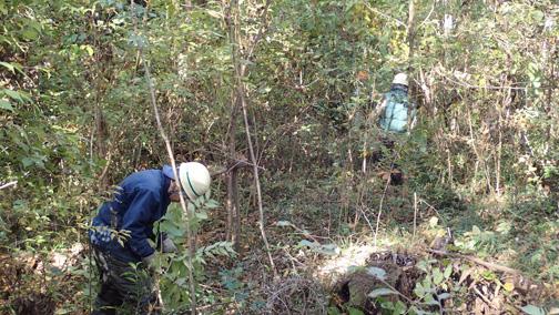 かつて植えたサクラ周辺を鋸や剪定ばさみを使って除伐します
