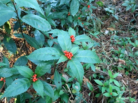 千両・万両と縁起の良い植物のセンリョウ