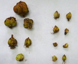採取した球根と木子(きこ)